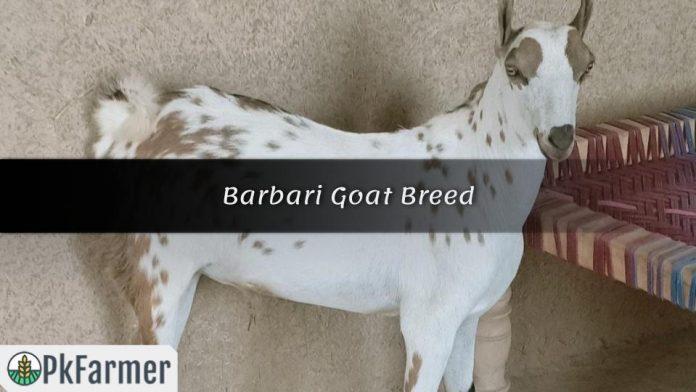 Barbari GoatBreed