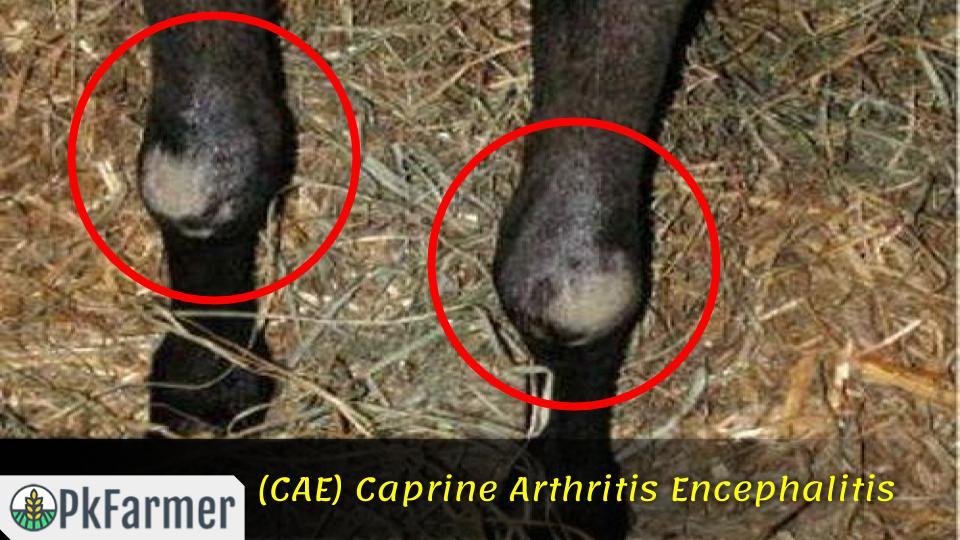 (CAE) Caprine Arthritis Encephalitis