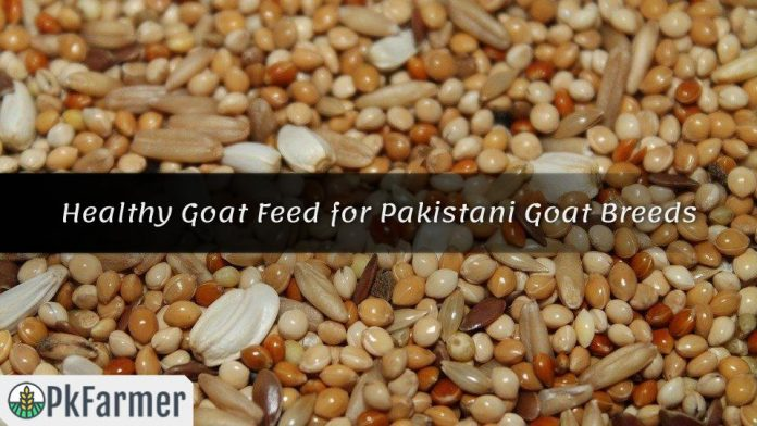 Healthy Goat Feed for Pakistani Goat Breeds