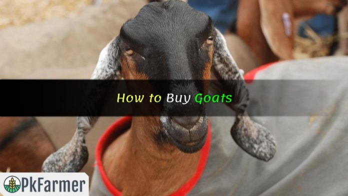 How to Buy Goats
