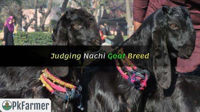 Judging Nachi Goat Breed
