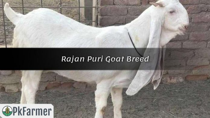 Rajan Puri Goat Breed