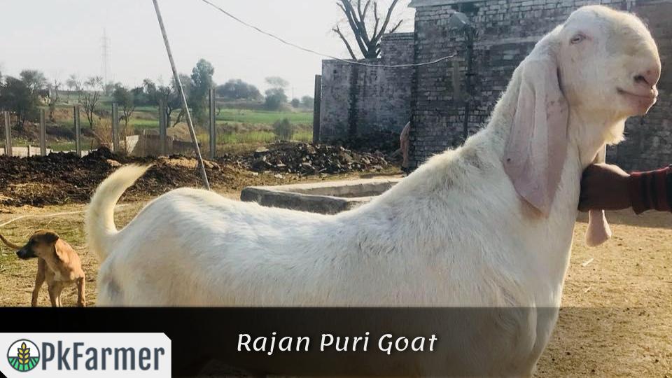 Rajan Puri Goat
