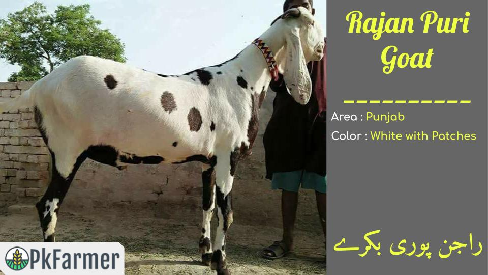Rajan Puri Goat White with Patches PKFarmer