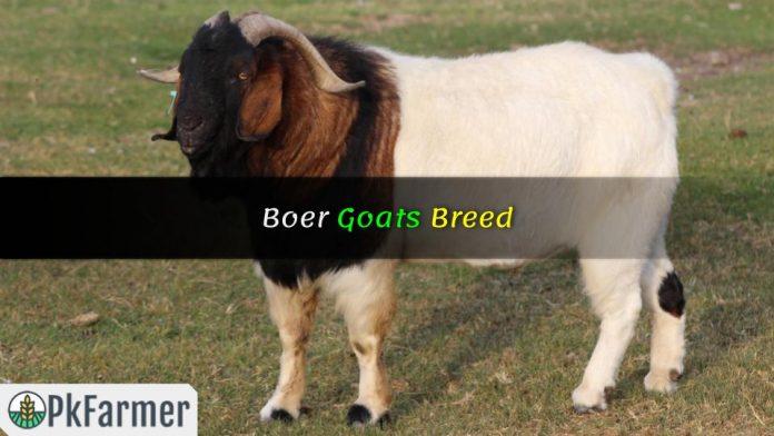 Boer Goats Breed