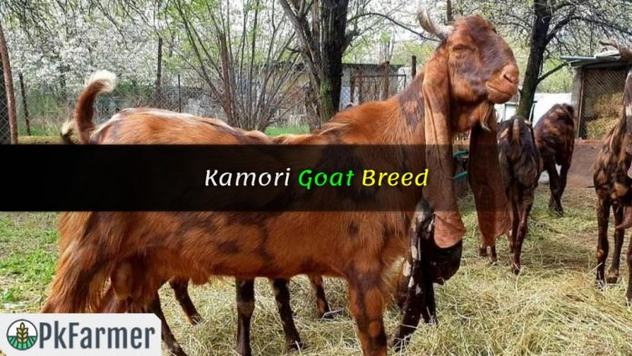 Kamori Goat Breed
