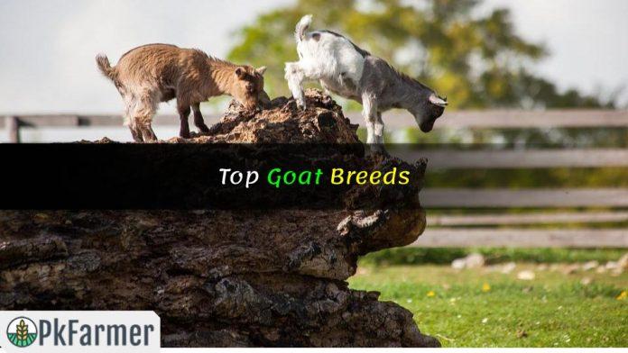 Top Goat Breeds