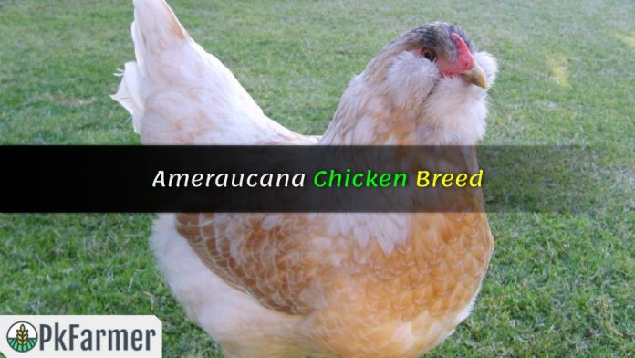 Ameraucana Chicken Breed