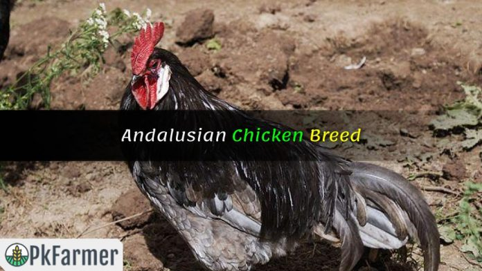 Andalusian Chicken Breed