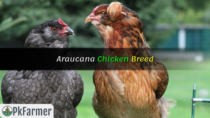 Araucana Chicken Breed