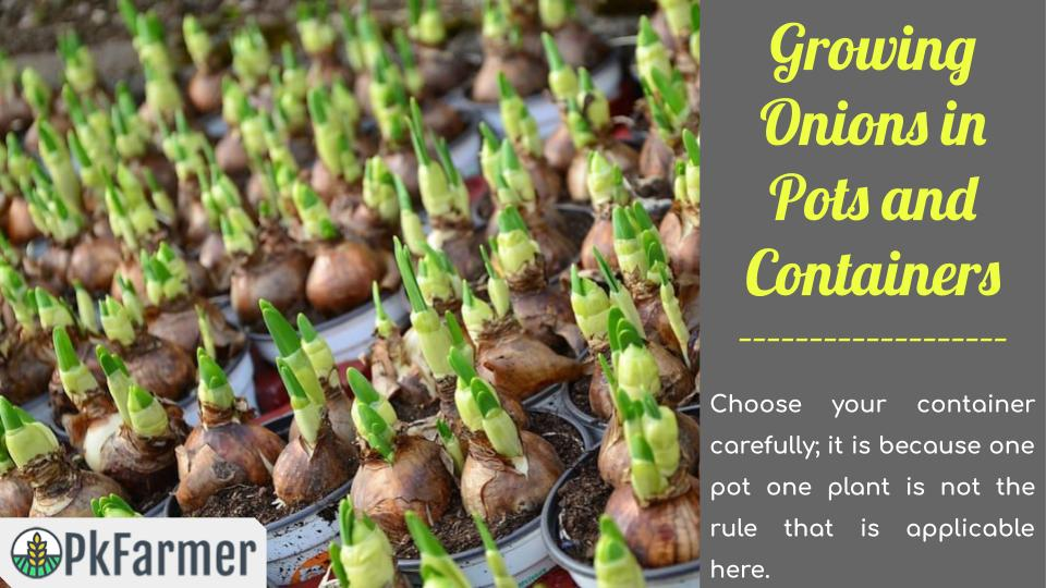 Growing Onions in Pots and Containers