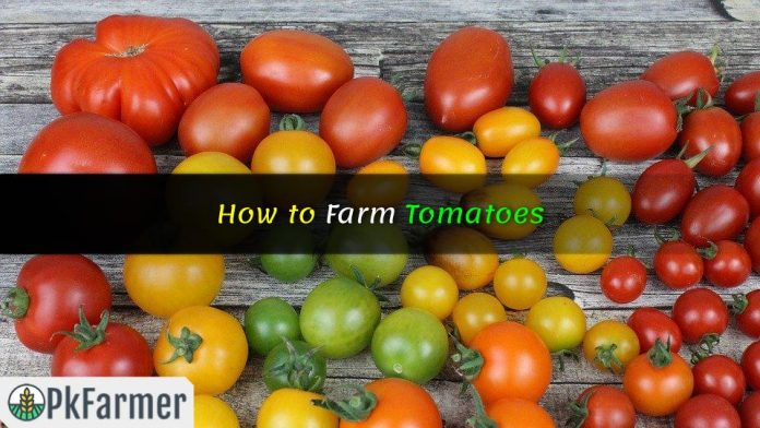 How to Farm Tomatoes