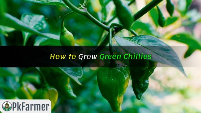 How to Grow Green Chillies