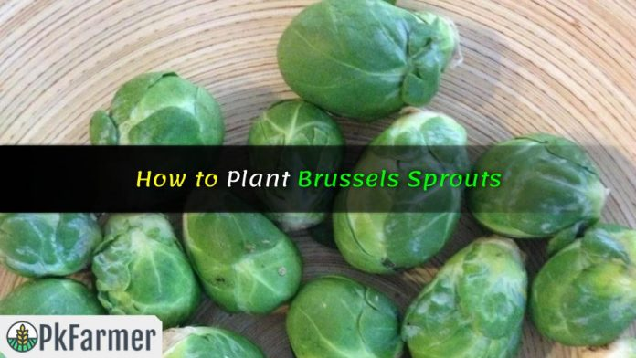 How to Plant Brussels Sprouts
