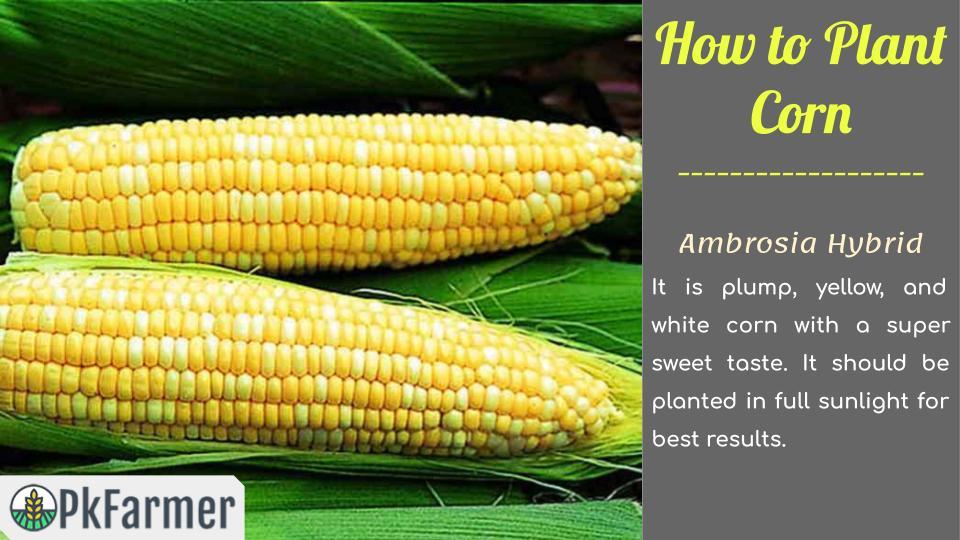 How to Plant Corn Ambrosia Hybrid