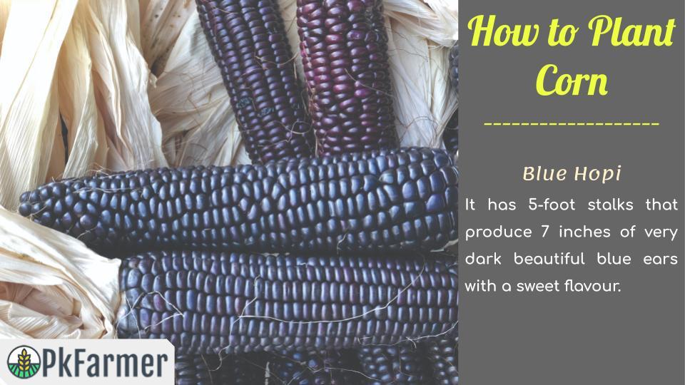 How to Plant Corn Blue Hopi