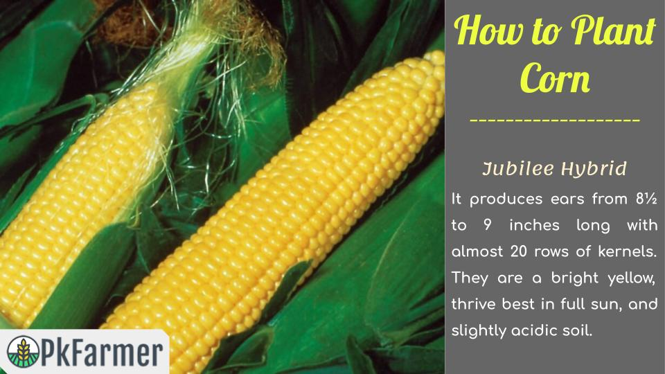 How to Plant Corn Jubilee Hybrid