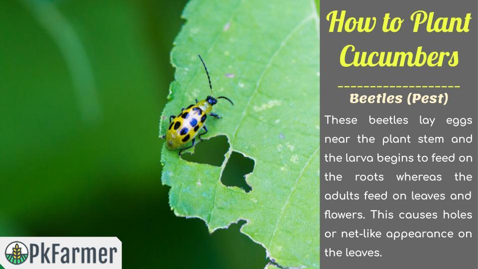 Beetles Pest