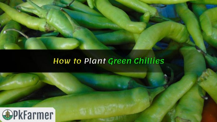 How to Plant Green Chillies