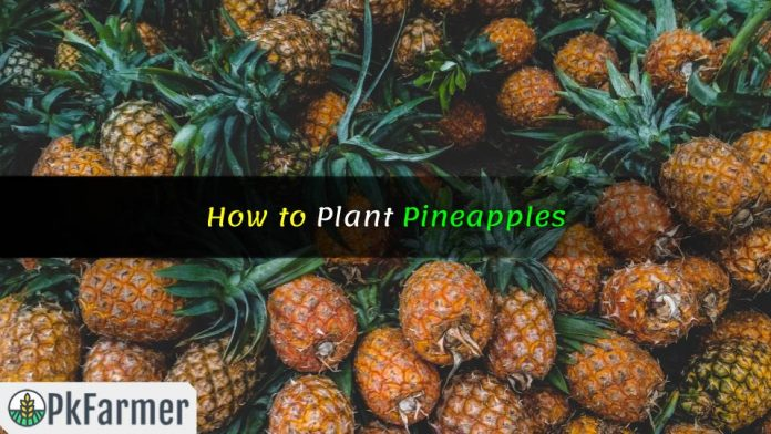 How to Plant Pineapples
