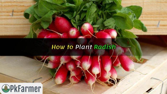 How to Plant Radish