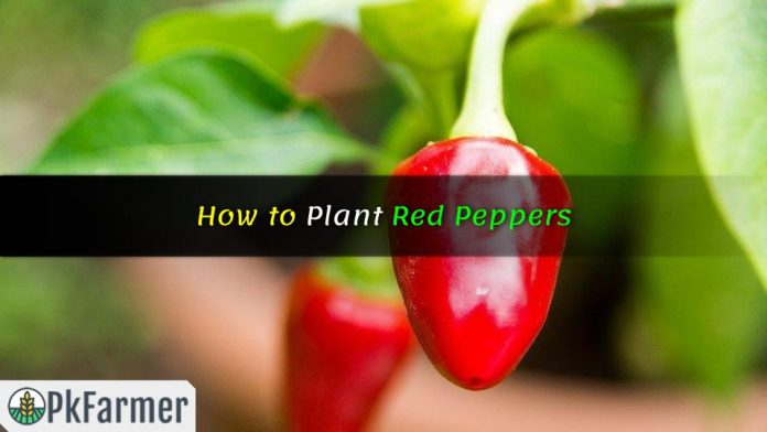 How to Plant Red Peppers