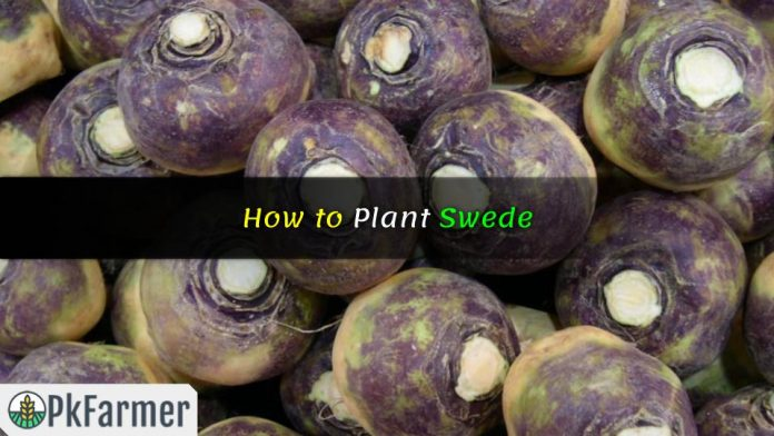 How to Plant Swede