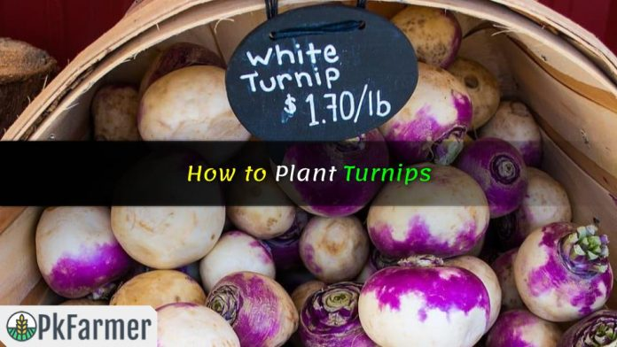 How to Plant Turnips
