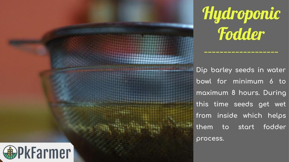 Hydroponic Fodder Soak Barley