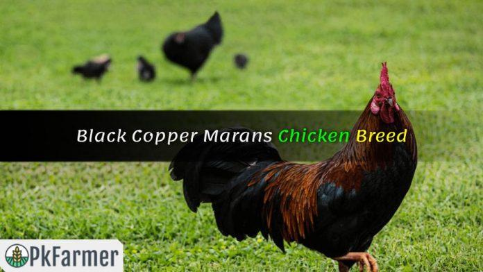 Black Copper Marans Chicken Breed