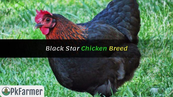Black Star Chicken Breed