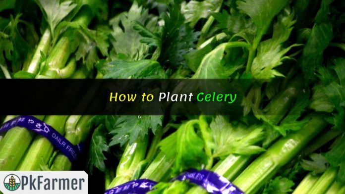 How to Plant Celery