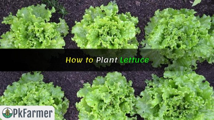 How to Plant Lettuce