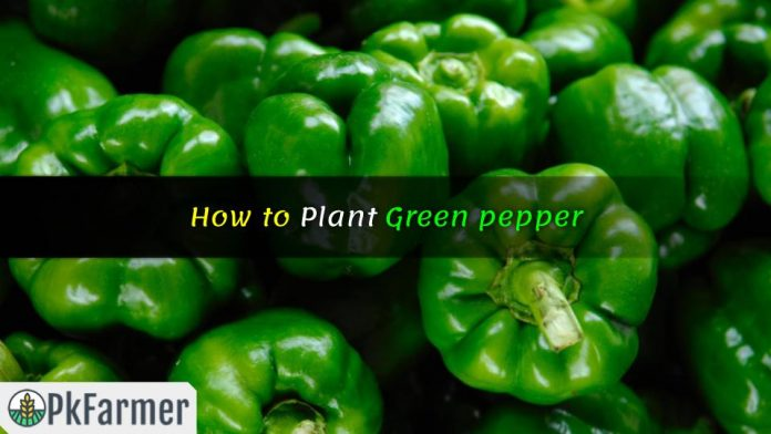 How to Plant Green pepper