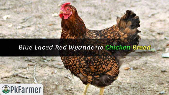 Blue Laced Red Wyandotte Chicken Breed