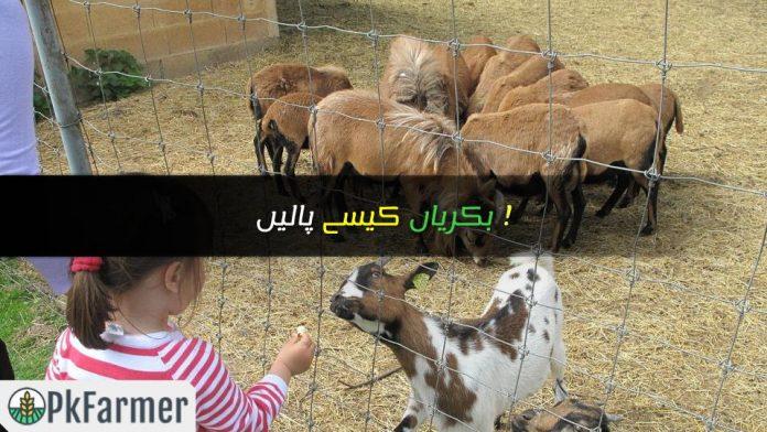 بکریاں کیسے پالیں