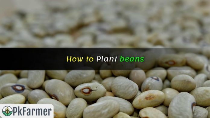 How to Plant beans